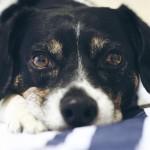 Louis, dog, beagle mix, rescue, pup